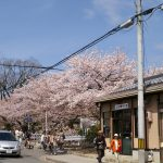 교토 철학의 길의 벚꽃길