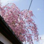 교토의 벚꽃 풍경